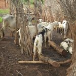 The Water Project: Kathamba ngii Community C -  Cattle Pen