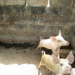 The Water Project: Lungi, Mahera, #5 MacAuley Street -  Inside Animal Pen