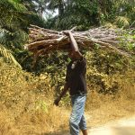 The Water Project: Lokomasama, Kennenday Village -  Young Man Carrying Cassava Leaves Stems To Farm House