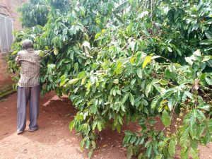 The Water Project:  Coffee Trees