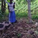 The Water Project: Rubona Kyawendera Community -  Feeding Pigs