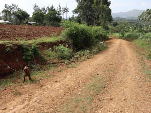 The Water Project:  Goats Tied To Graze Along Road To The Community