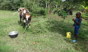 The Water Project:  Child Watches Cow Grazing