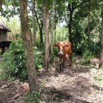 The Water Project: Mahira Community, Litinyi Spring -  Cow Grazing