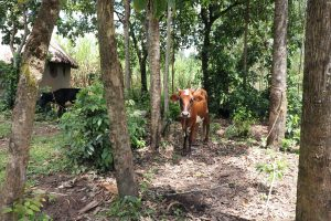 The Water Project:  Cow Grazing