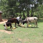 The Water Project: Mukhuyu Community, Chisombe Spring -  Feeding And Watering Her Cows