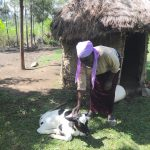 The Water Project: Mahira Community, Litinyi Spring -  Agnes Petting Her Calf