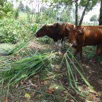 The Water Project: Mahira Community, Wora Spring -  Animals Grazing