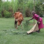 The Water Project: Mahira Community, Wora Spring -  A Woman Feeds Her Cow