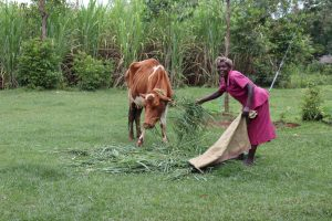 The Water Project:  A Woman Feeds Her Cow