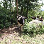 The Water Project: Mahira Community, Litinyi Spring -  Cows Grazing