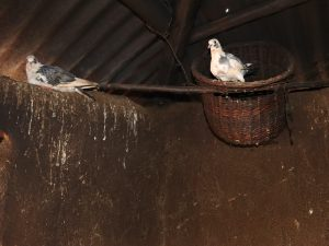 The Water Project:  Pigeons Reared In A Kitchen