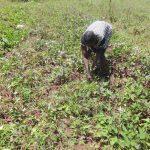 The Water Project: Mahira Community, Wora Spring -  Sweet Potato Harvesting