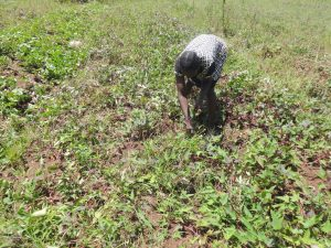 The Water Project:  Sweet Potato Harvesting