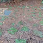 The Water Project: Chepnonochi Community, Shikati Spring -  Grass Planting Progress