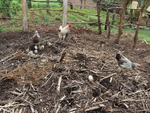 The Water Project:  Chickens Peck At The Garbage Disposal Point