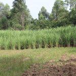 The Water Project: Litinye Community, Shivina Spring -  Sugarcane Plantation