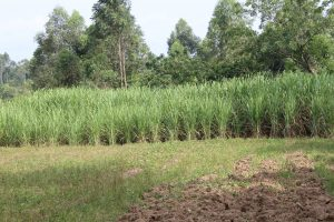 The Water Project:  Sugarcane Plantation