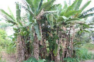 The Water Project:  Banana Farming