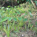 The Water Project: Litinye Community, Shivina Spring -  Yam Farming Next To The Spring