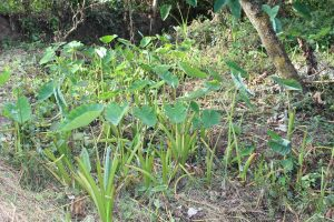 The Water Project:  Yam Farming Next To The Spring