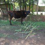 The Water Project: Mahira Community, Jairus Mwera Spring -  A Cow Feeding At A Homestead