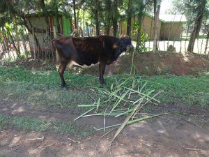The Water Project:  A Cow Feeding At A Homestead