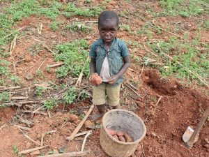 The Water Project:  Collecting Harvested Sweet Potatoes