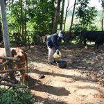 The Water Project: Eshiakhulo Community, Kweyu Spring -  David Kweyu Quenching His Animals Thirst With Water From Kweyu Spring