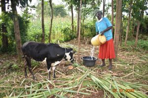 The Water Project:  Catherine Waters Her Animals With Water From Ngache