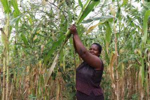 The Water Project:  Ms Makanji Checking To See If Her Maize Is Ready