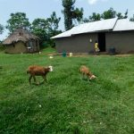 The Water Project: Emutetemo Community, Lubale Spring -  Livesock Grazing At A Homestead