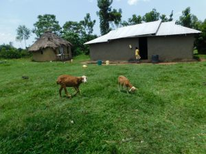 The Water Project:  Livesock Grazing At A Homestead