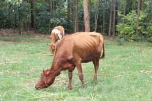 The Water Project:  Cattle Grazing