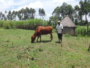 The Water Project:  Aron Kwemba Grazing His Cow