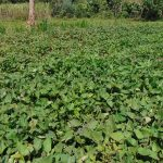 The Water Project: Indulusia Community, Yakobo Spring -  Sweet Potato Farm