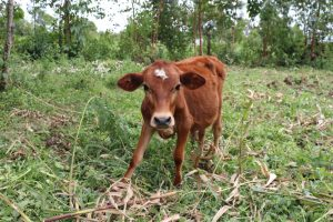 The Water Project:  A Calf Grazing