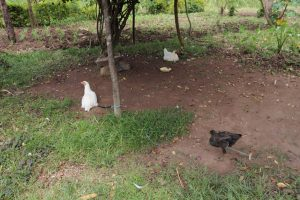 The Water Project:  Chickens Tied Under Shade