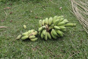 The Water Project:  Sweet Banana Harvest