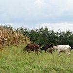 The Water Project: Mukhungula Community, Mulongo Spring -  Animals Grazing In A Farm