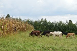 The Water Project:  Animals Grazing In A Farm
