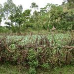 The Water Project: Mukhungula Community, Mulongo Spring -  Kitchen Garden Fenced In