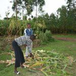 The Water Project: Mukhungula Community, Mulongo Spring -  Harvesting Maize