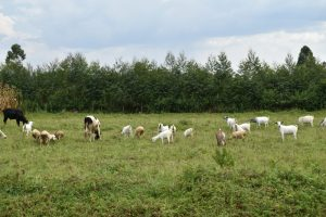 The Water Project:  Livestock Grazing In Open Field