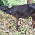 The Water Project: Bukalama Community, Wanzetse Spring -  Livestock Keeping Is A Big Activity