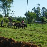 The Water Project: Bukalama Community, Wanzetse Spring -  Plowing With Livestock