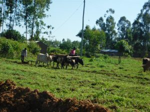 The Water Project:  Plowing With Livestock
