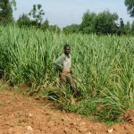 The Water Project: Bukalama Community, Wanzetse Spring -  Working In Sugarcane Field