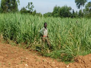 The Water Project:  Working In Sugarcane Field