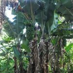 The Water Project: Mahira Community, Mukalama Spring -  Banana Plantation